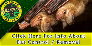 Bat Pest Trapping and Removal