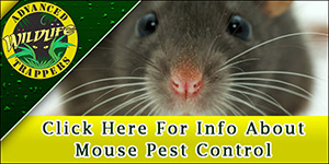 Mouse Trapping and Removal