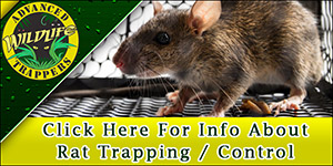 Rat Trapping and Removal