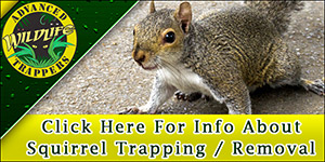 Squirrel Trapping and Removal